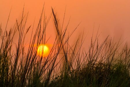 The silhouette of  poaceae grass flowers on sunset light with golden sky background, Thailand.