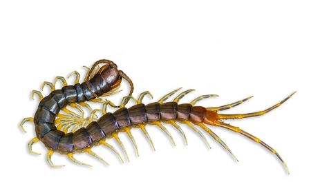 The top view of Centipede isolated on white background and clipping path. Poisonous insects.
