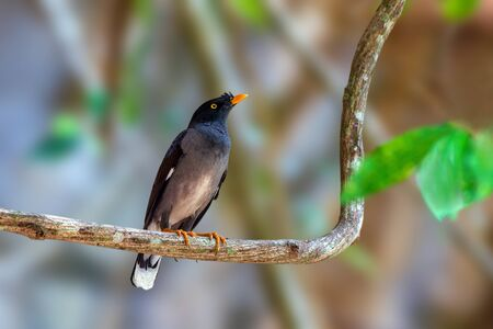 Jungle myna or Acridotheres fuscus, beautiful black bird perching on branch with blur background in nature, Southern Thailand. Standard-Bild