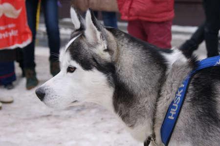 man's best friend: husky
