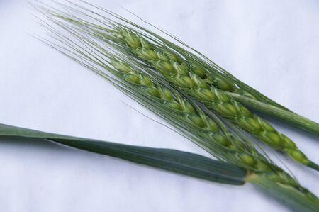 corn stalks: corn stalks