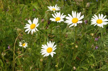 glades: Wild daisies Stock Photo