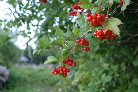 viburnum: viburnum red berries