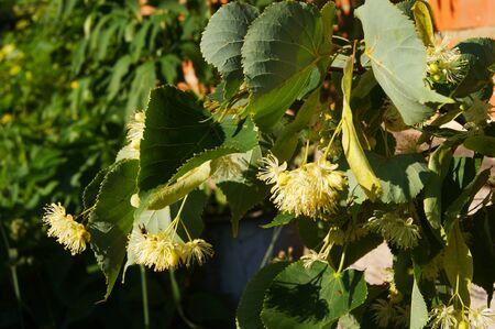 tilia cordata: linden tree, flower