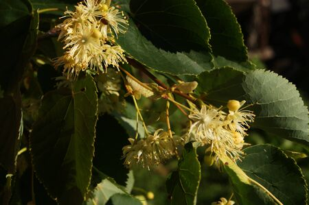 linden: linden tree, flower