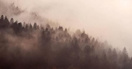 misty forest: Beautiful fog in a Carpathian misty forest