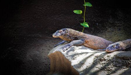 merciless: Komodo dragon resting on a rock near the cave. Giant Indonesian lizard. Varanus komodoensis. Animals Stock Photo