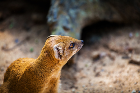 herpestidae: Yellow Mongoose, Cynictis penicillata, sitting on the tree trunk. Yellow Mongoose in the nature habitat. Yellow Mongoose with long tail. African animal from Botswana. Yellow Mongoose from Africa.