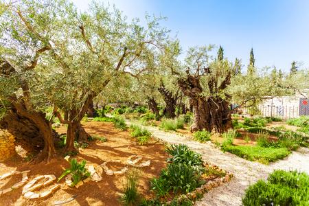yielding: Garden of Gethsemane, Jerusalem, Israel. Perhaps the olive trees, which have seen Jesus.