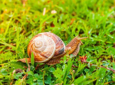 Curious snail in the garden on green grass. Molluscs, gastropods class.