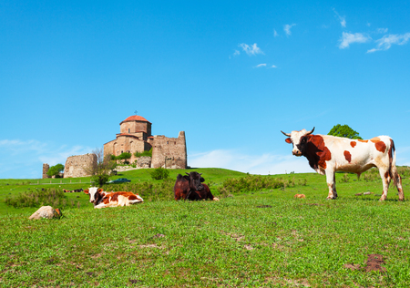 Jvari Monastery - Orthodox church on top of a hill near the town of Mtskheta at the junction of three rivers with cows in the foreground. It is listed as a World Heritage site by UNESCO. Georgia.