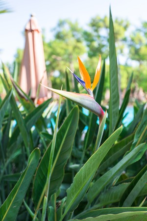 Flower and leaves of strelitzia or bird of paradise