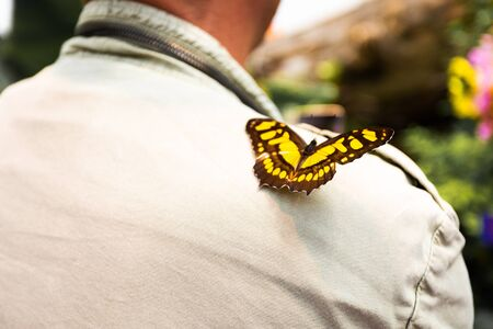 Yellow Butterfly papilio thoas in a greenhouse. Stock Photo