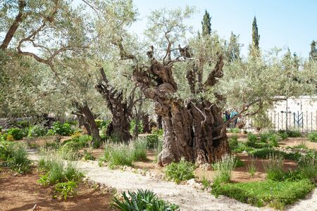 Gethsemane's Olive Garden and Pilgrimage Site near Church of Mary Magdalene in Jerusalem, Israel Фото со стока