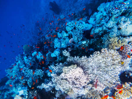 Underwater scene with coral reef in the Red Sea Banque d'images