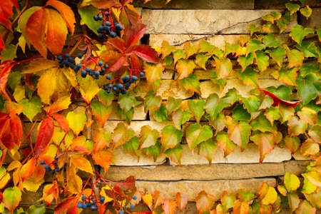 Wall covered with leaves of a girlish grapes. Banco de Imagens