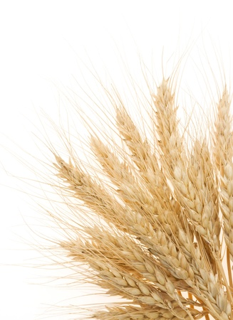 ripe barley ears isolated on white background
