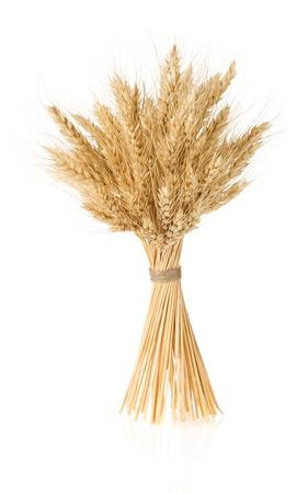 cebada: espigas de cebada aisladas sobre fondo blanco