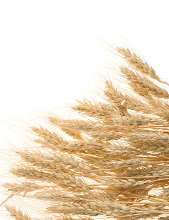 ripe barley ears isolated on white background photo