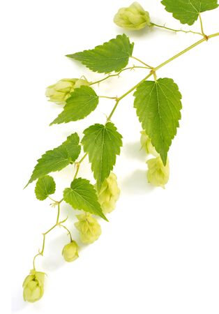 hop cones: hop cones isolated on white background