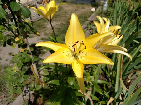 Flower blossom yellow lily in summer day nature