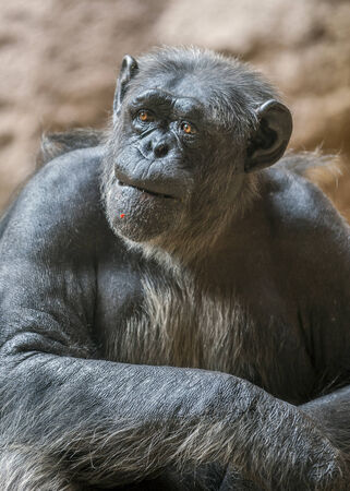 chimpances: Significativa mirada y la expresi�n de la cara del chimpanc� macho adulto.