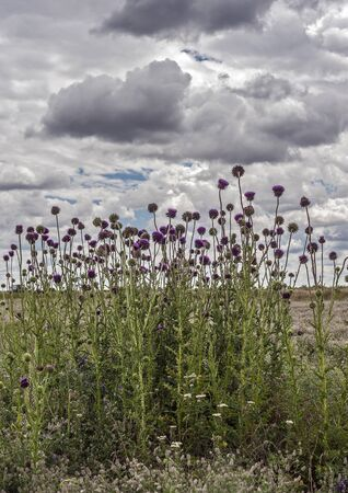 South of Russia, spring in the Kalmyk steppes. Blossoming thistle on the background of the pre-threatened sky.