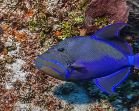 Maldives. The Royal triggerfish (Balistes vetula) is a frequent guest of coral reefs.