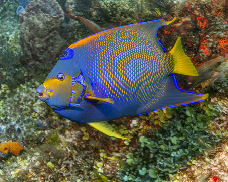 Maldives. Fish Royal Caribbean angel is often found on coral reefs.