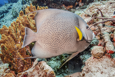 Maldives. Fish Gray Angelfish on the background of coral reefs.