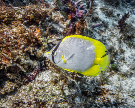 Maldives. (Chaetodon ocellatus) Spotfin butterflyfish against a coral reef. Stock Photo
