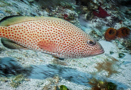 Maldives. Handsome red hind grouper among the corals of the shelf.