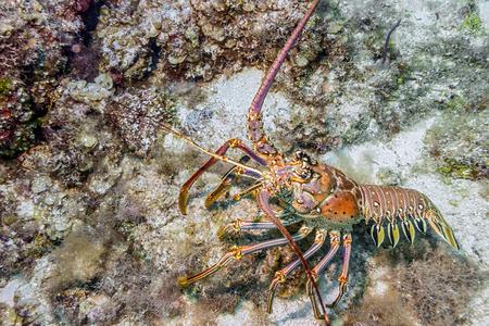 Maldives. Caribbean lobster panulirus argus among the coral reef coastal shelf.