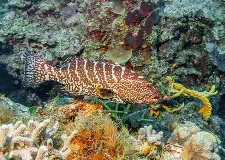 Maldives. Tiger grouper among corals of the coastal shelf.