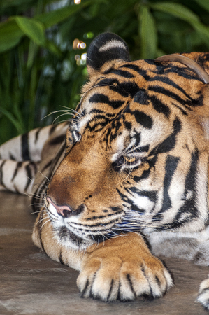 The tiger is the largest and most dangerous carnivore of the cat family. Resting in the shade on a hot Thai day.