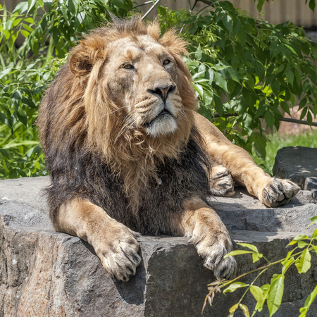 Prague Zoo. Hot July day. The king of beasts is a lion resting on a stone bed. Stock Photo