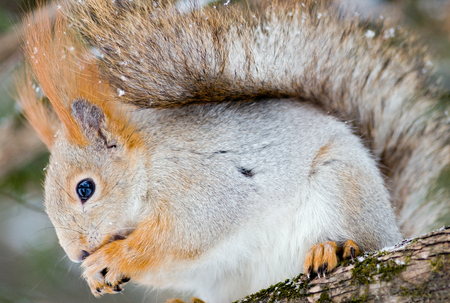 Winter forest. Fluffy squirrel on a pine branch gnaws a nutlet. Light snow is coming. 写真素材 - 127128554