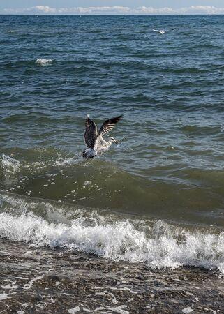 Russia, Crimean peninsula, Sudak region. Seagulls feeding near the shore.