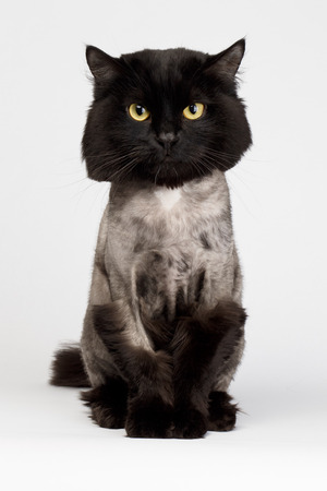 shaved black cat isolated on white background Reklamní fotografie - 34191151