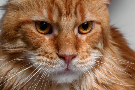 closeup ginger Maine Coon cat on white background photo