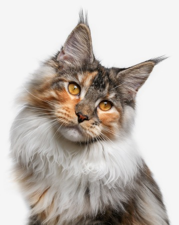 closeup white with ginger Maine Coon cat on white background photo