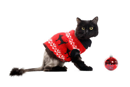 red cardigan: black cat wearing in a red cardigan with Christmas Ball isolated on white background Stock Photo
