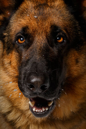 full face: Close-up German shepherd in full face with opened mouth