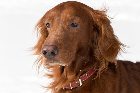 Close-up portrait of Red Setter on white background Stock Photo