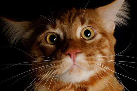 maine cat: Male Maine Coon cat ginger tabby on black background Stock Photo