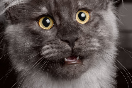 Close-up of Maine Coon with his mouth open, looking questioningly Reklamní fotografie - 34631591