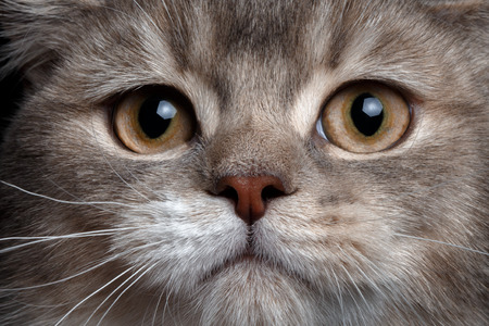 scottish straight: Close-up scottish straight cat with red nose