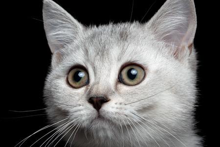 scottish straight: Close-up scottish straight kitty isolated on black