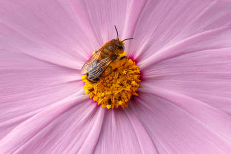 Bee pollinating pink flower photo
