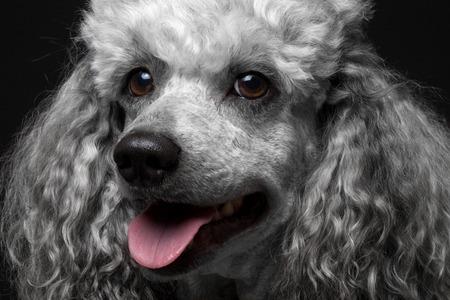 Closeup portrait dog poodle on the black background